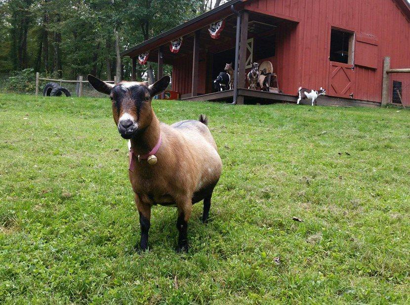 Woodland Trails Nigerian Dwarf Goats Bergholz, Ohio - Woodland