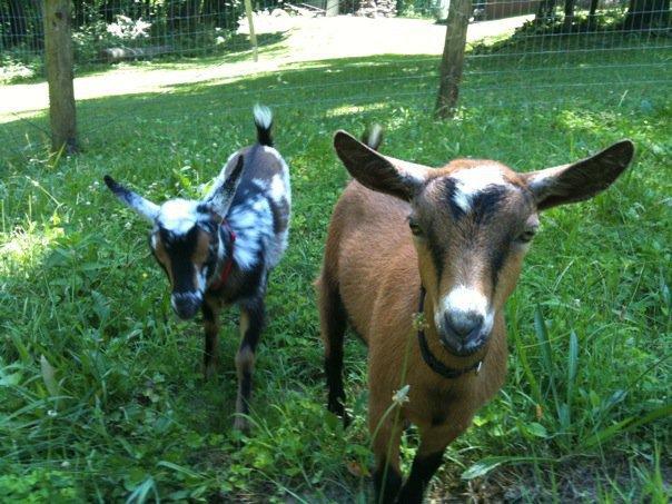Woodland Trails Nigerian Dwarf Goats Bergholz, Ohio